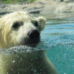 Polar Bear Day: la giornata internazionale dell'orso polare