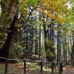 Il Castagno Miraglia un albero ultracentenario